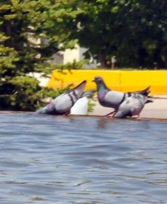 Güvercinlerin susadığı an! 3