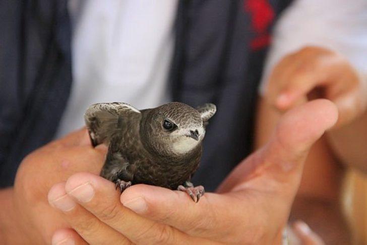 Esrarı hala çözülemeyen Ebabil kuşu Erzurum'da bulundu! 1