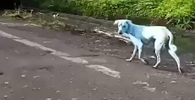 Sokaklarda gezen mavi köpekler merak uyandırdı