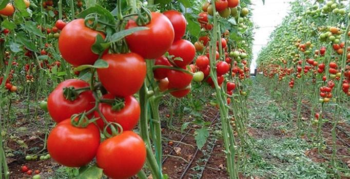Yöneticiliği bıraktı domates yetiştiriyor