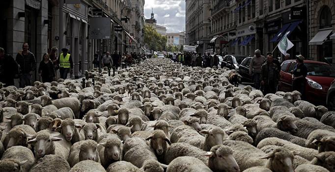 Koyunlar kurtlara karşı yürüdü