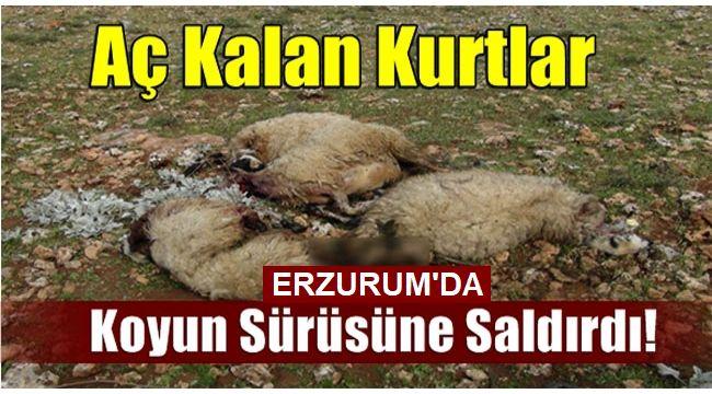 Erzurum'da Ağıldan Çıkan Koyunları, Kurtlar Telef Etti