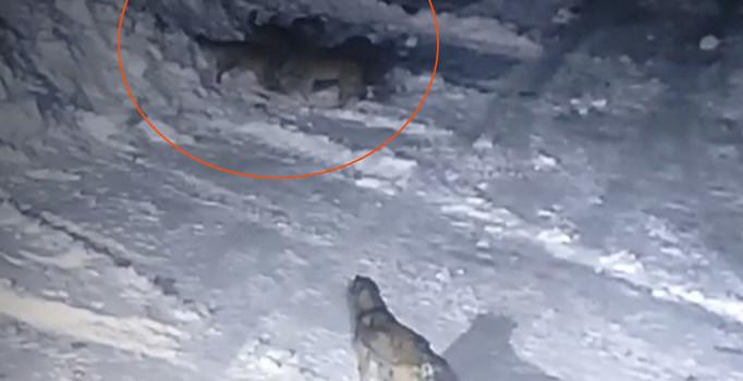 Aç kalan kurtlar kangal yavrusunu parçaladı