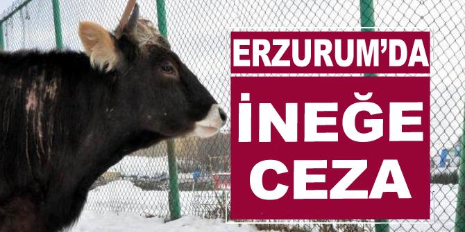 Erzurum'un cezalı ineği!