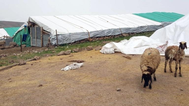 Kediyi Kurt Zanneden Koyunlar Korkudan Birbirini Ezdi: 14 Koyun Telef Oldu