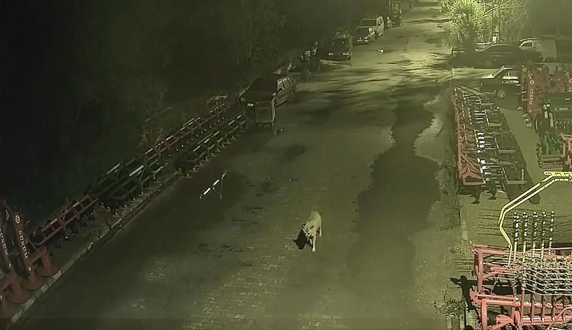 Bayburt'a inen kurdu, bekçi ve köpekler kovaladı