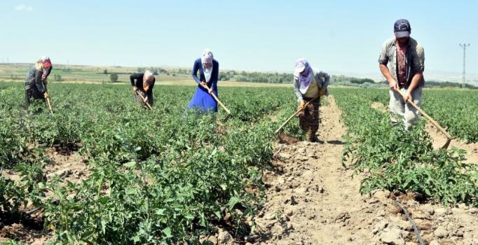 Ahlat ilçesinde 170 bin ton patates üretiliyor