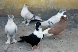 Güvercin sevdasına ölüyordu