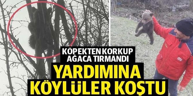 Köpekten korkup ağaca çıkan yavru ayı kurtuldu