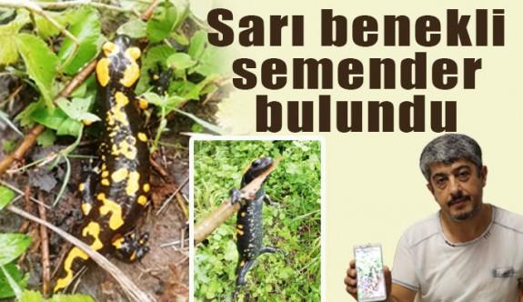 Türk Semenderi veya Lekeli Semenderi