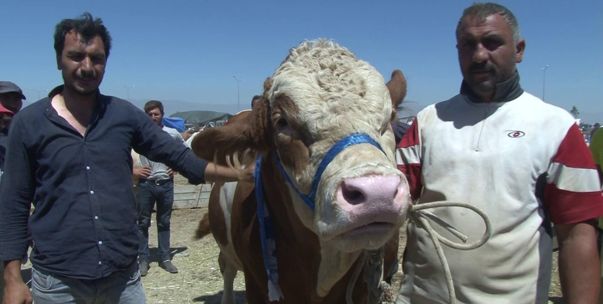 Erzurum'da kurban pazarının Dadaş boğası göz kamaştırdı