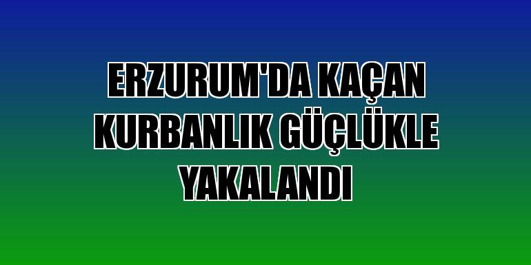 Erzurum'da kaçan kurbanlık güçlükle yakalandı
