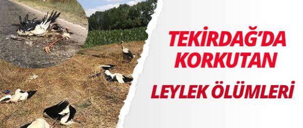 Tekirdağ'da toplu leylek ölümü