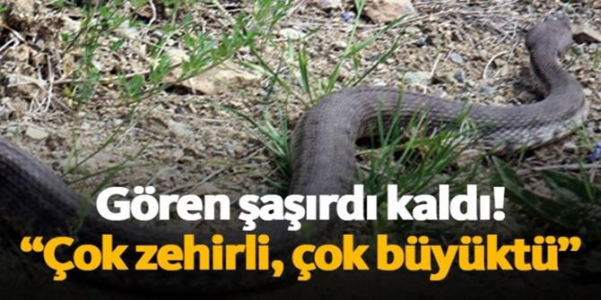 Sürüye saldıran Hopa engereğini öldürdü