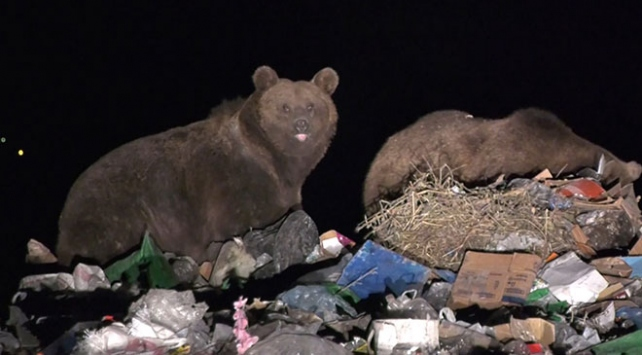 Yaban hayvanları çöplüğün müdavimi oldu