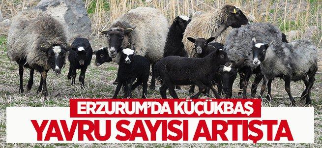 Erzurum'da Küçükbaş Yavru Sayısı Artışta