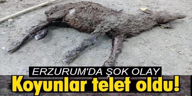 Erzurum'da 70 küçükbaş hayvan telef oldu