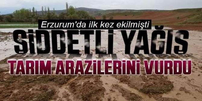 Erzurum'a tarihte ilk kez ekilen lavanta tarlaları sel suları altında kaldı