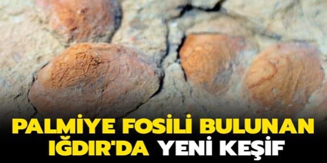 Palmiye fosili bulunan Iğdır'da şimdi de midye fosiline rastlandı