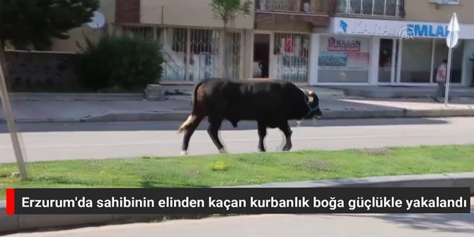 Erzurum'da sahibinin elinden kaçan kurbanlık boğa güçlükle yakalandı