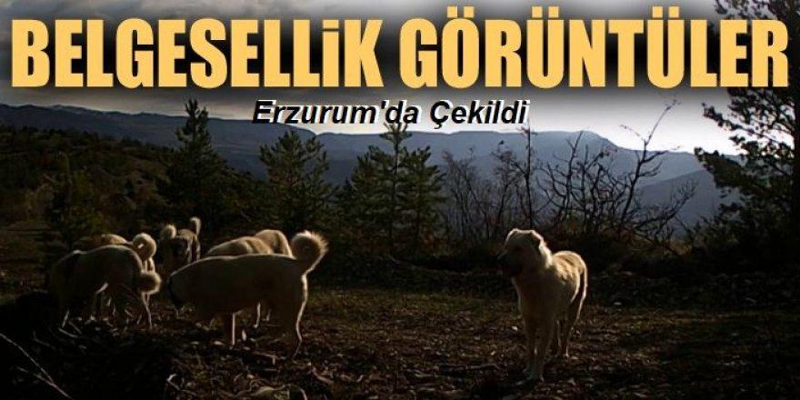 Erzurum'da belgesellik görüntüler...