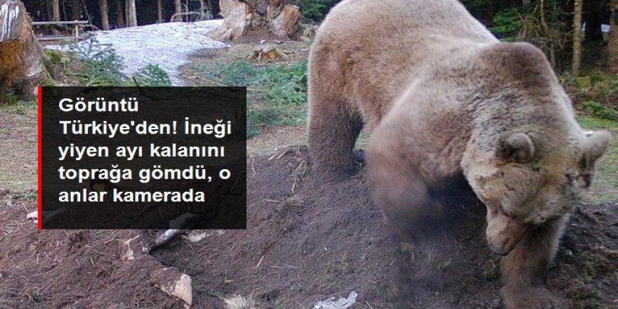 İneği yiyen ayı kalanını toprağa gömdü, o anlar fotokapana yansıdı