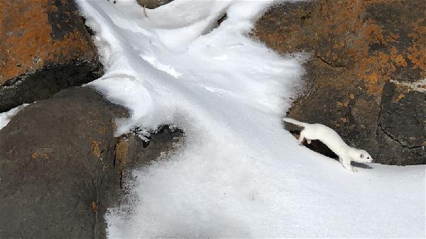 Kürkü yazın kahverengi, kışın beyaz oluyor. Kars'ta görüntülendi