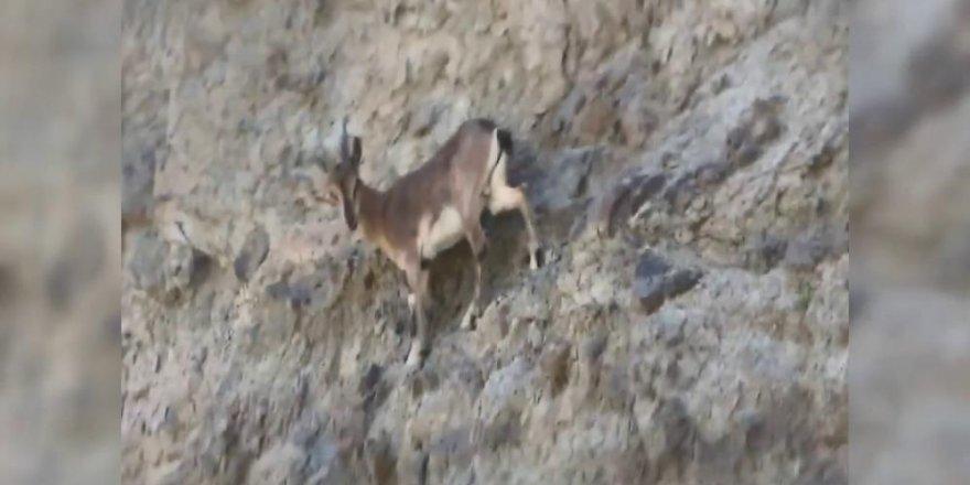 Erzurum'da zorlu dağları tırmanan yaban keçileri nefes kesti