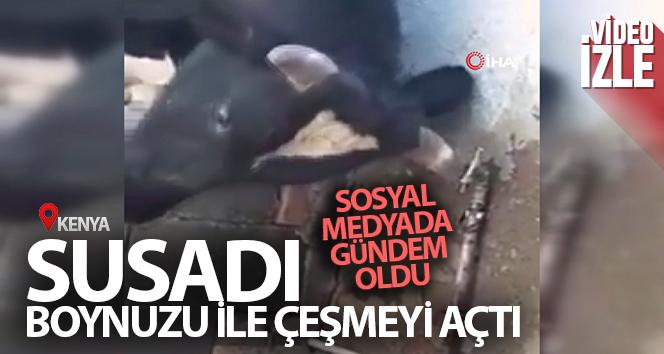 Susayan inek boynuzu ile çeşmeyi açtı, sosyal medyada gündem oldu