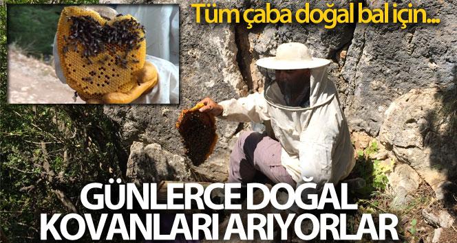 Doğal bal için günlerce 'firari' arıların izini sürüyorlar