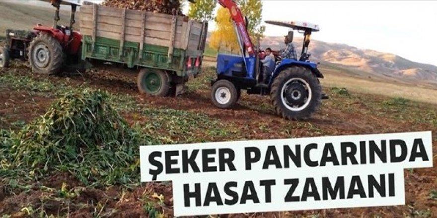 Hedef 550 bin ton pancardan 82 bin ton şeker üretimi