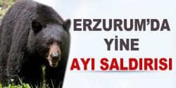 Erzurum'da yine ayı saldırısı