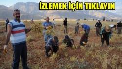 TKP'li Belediye Başkanı'nın nohut hasadı
