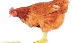 Tavuk tavuğu yesin mi yemesin mi?