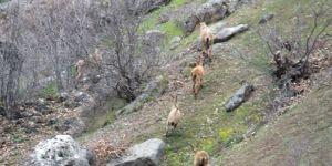 İspir'de Yaban Keçileri Sürü Halinde Görüntülendi