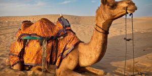 15 bin Katar devesini sınır dışı etti
