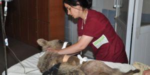Ayağında Kırık Bulunan Yavru Ayı Kars'ta Ameliyata Alındı