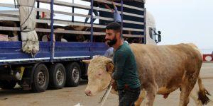 Doğu Anadolu'dan Batı illerine kurbanlık sevkıyatı başladı