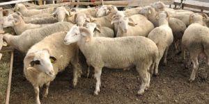 Erzurum'da hayvan hırsızlığı