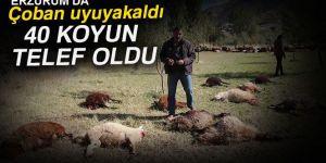 Çoban uyuyakaldı, kurtlar 40 koyunu telef etti