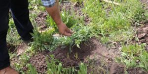 Salep soğanı toplayan vatandaşa rekor ceza