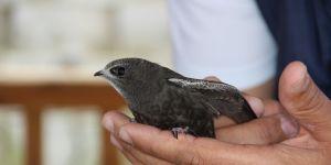 Ebabil kuşu Erzurum'da bulundu