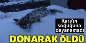 Kars'ın soğuğu tilki dondurdu!
