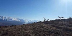 Erzincan'da keçi sürüsü vaşağın saldırısından kaçarken görüntülendi