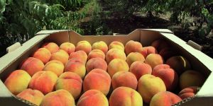 Rusya Türkiye'de gelen 20 ton nektarini geri gönderdi!
