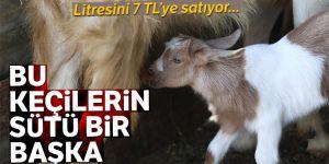 Bu keçilerin sütlerine büyük ilgi!