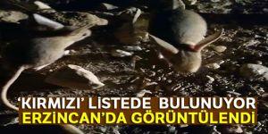 Erzincan'da bulundu: Kanguruyu andırıyor