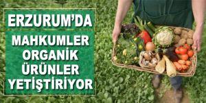 Hükümlüler cezaevinde organik ürünler yetiştiriyor