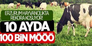 Erzurum'da büyükbaş hayvan sayısında hedef 1 milyon