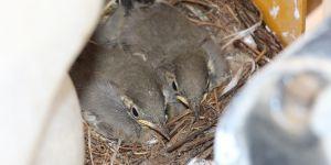 Kuş yavrularını iş makinesinde büyütüyor
